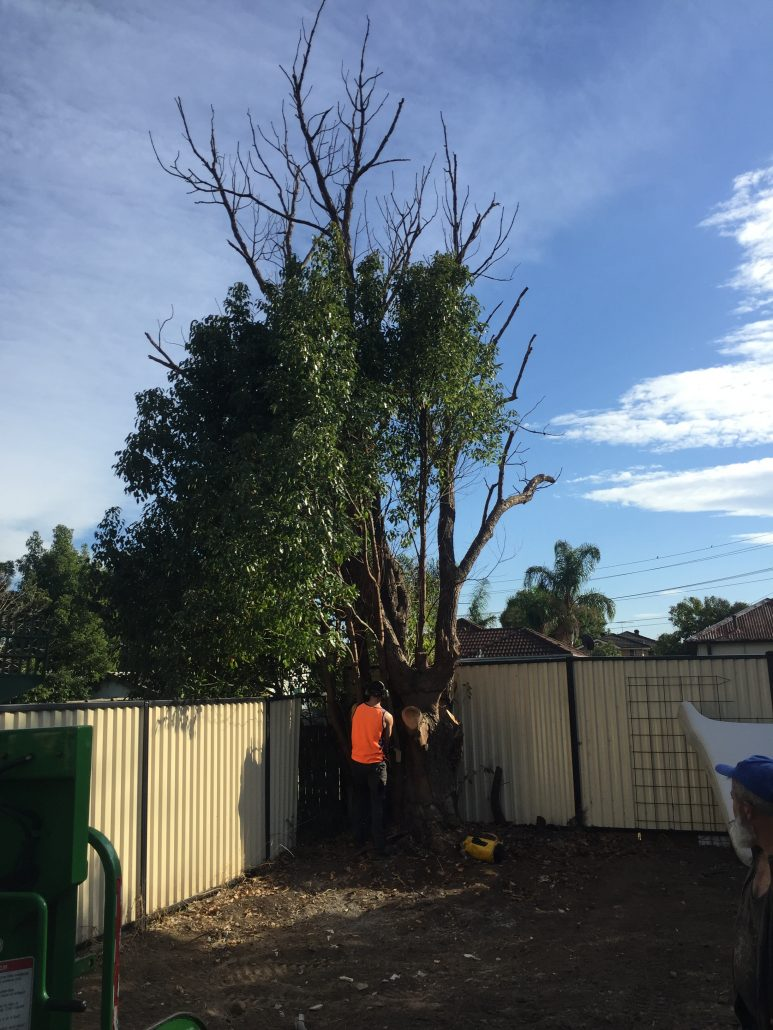tree lopping Haberfield