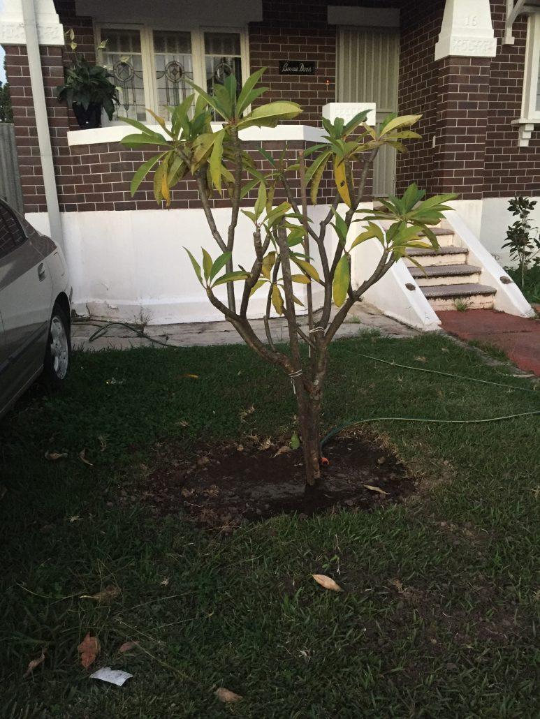 frangipani-tree-transfer