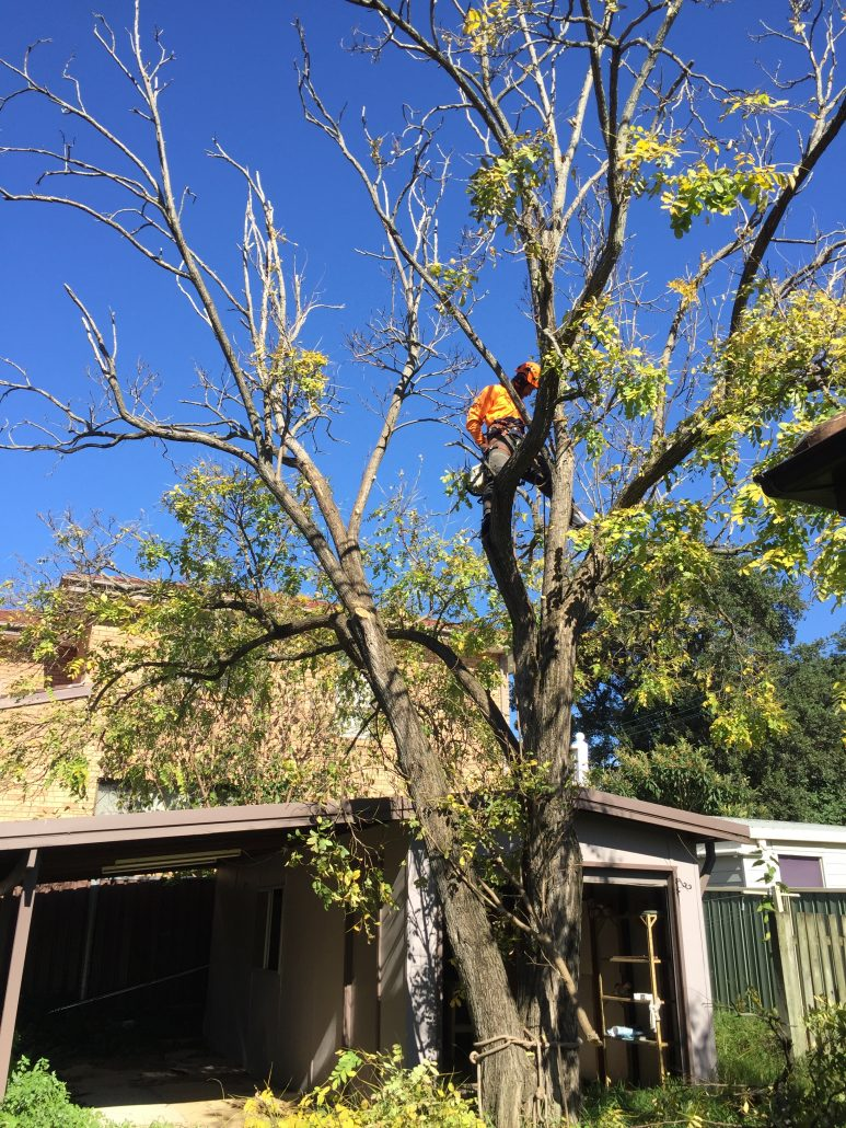 hunters-hill-robinia-before