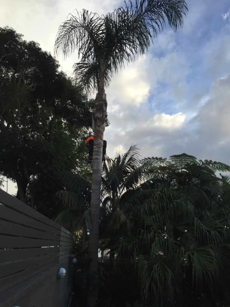 Removing fruit off a palm tree in Bronte