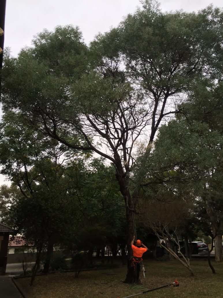 Acacia pruning