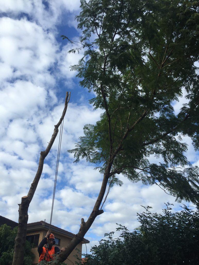 Tree removal Rose Bay