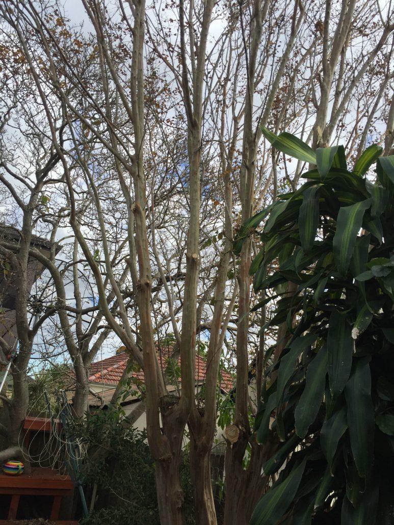 Pruned crepe myrtle