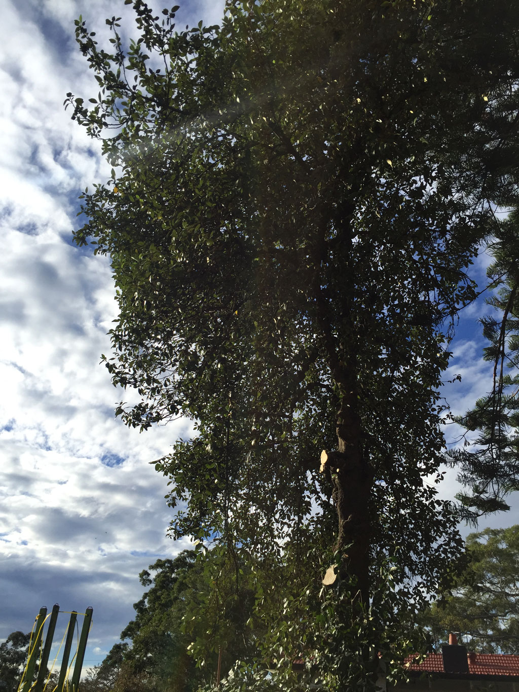 Lopping In North Shore Sydney Tree Company