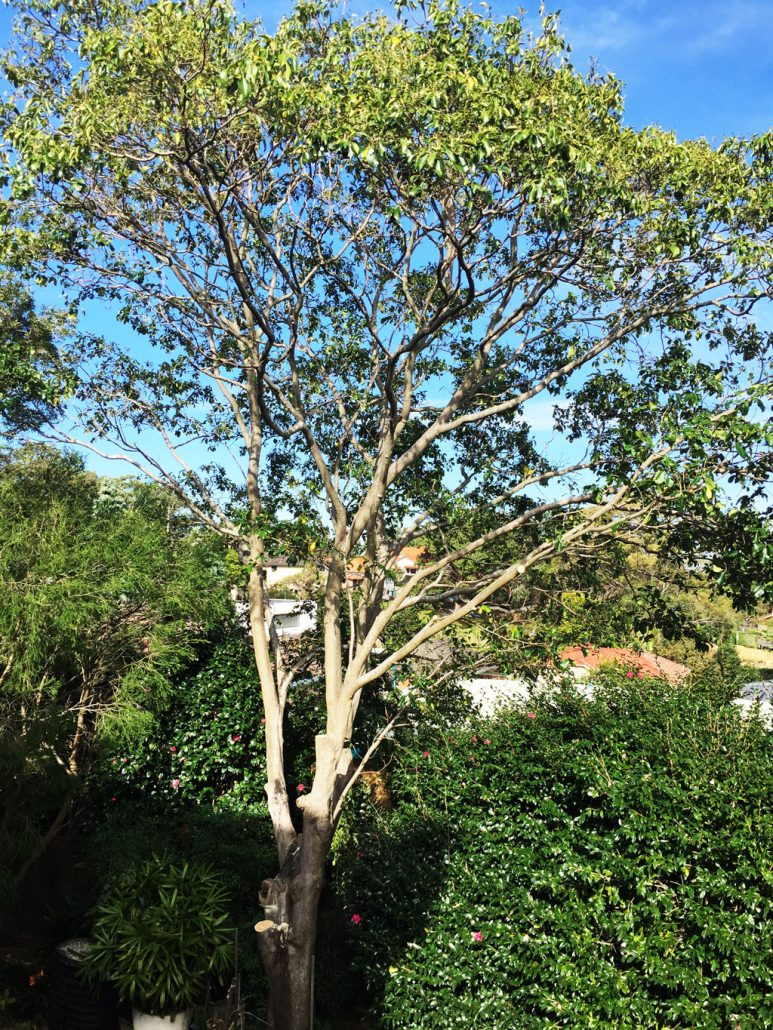 Balgowlah after pruning