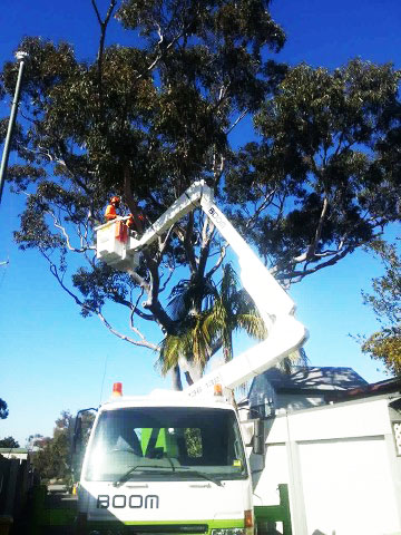 Eucalyptus trees for deadwood