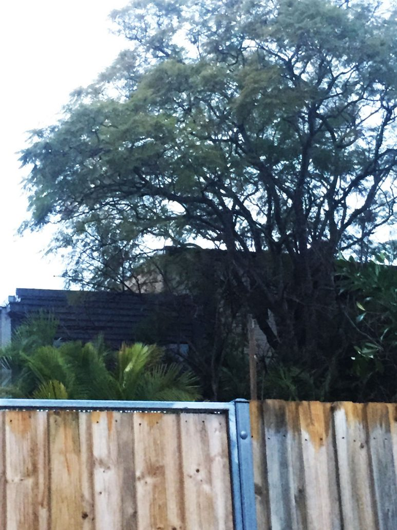 The Jacaranda is going to be removed from this property in Leichhardt