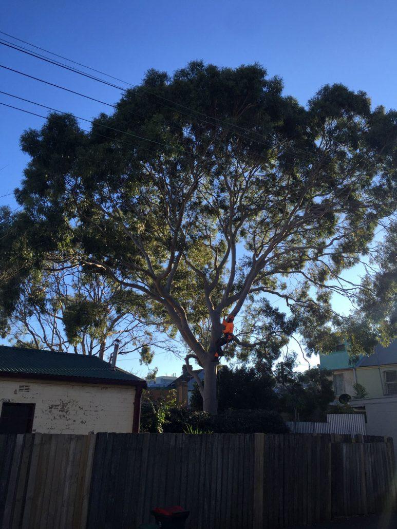 arborist-climbing-gum