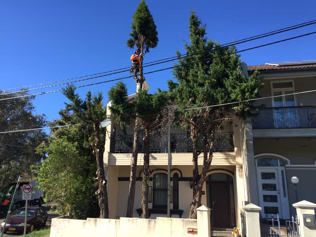 Pine Removal in Petersham - During Photo