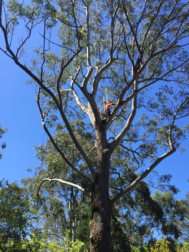 Arborist Climbing White Ant Tree