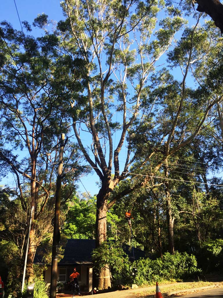 Beecroft Deadwood Removal