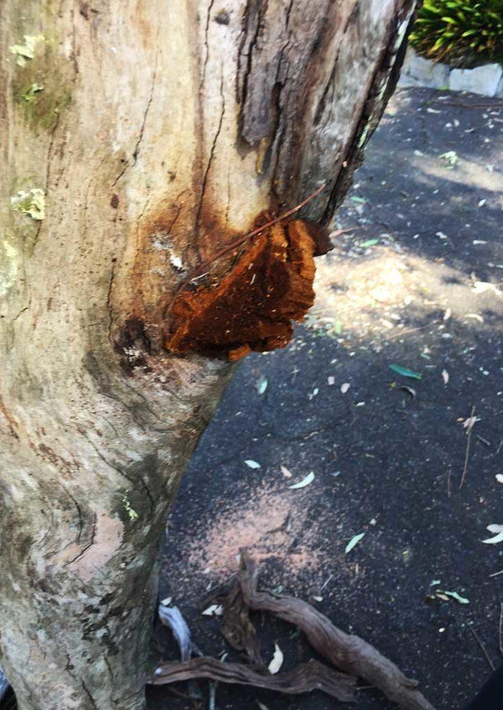 Turramurra Fungus